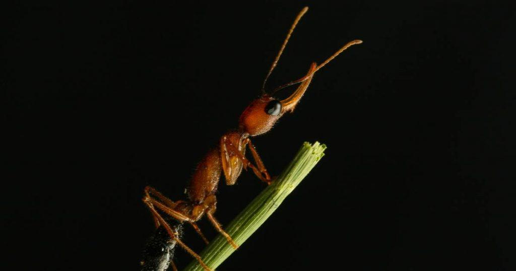 Untuk menjadi ratu, semut-semut ini bertarung - lalu mereka mengecilkan otaknya