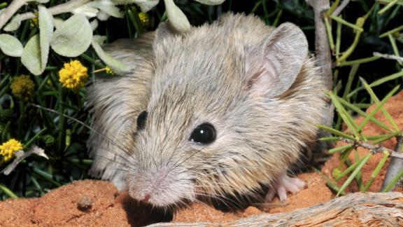 Tikus-tikus ini tidak pernah benar-benar menghilang - mereka hanya nongkrong di sebuah pulau.