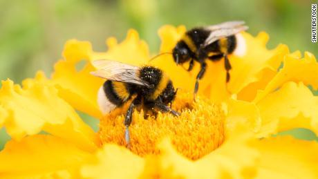 Jika Anda ingin menyelamatkan lebah, tanamlah bunga-bunga ini di kebun Anda