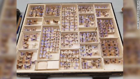 Museum lapangan berisi koleksi kupu-kupu biru Xerces yang telah punah.