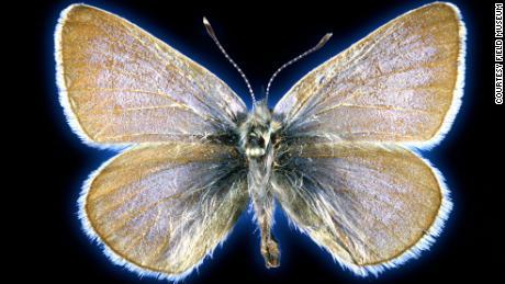 Spesimen kupu-kupu biru Zersis yang berusia 93 tahun digunakan dalam penelitian untuk membuktikan bahwa kupu-kupu itu pernah menjadi spesies yang unik.