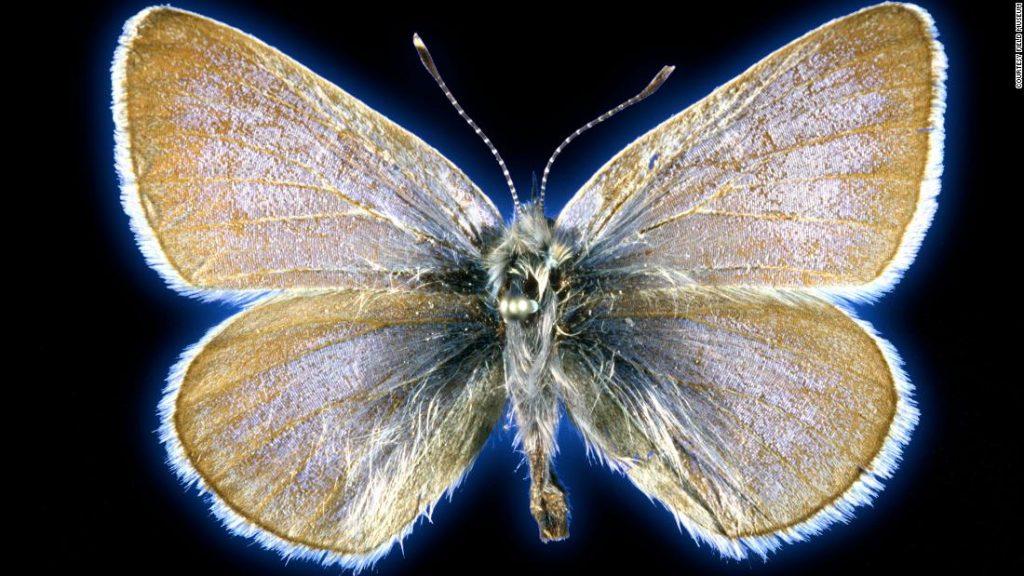 Kupu-kupu ini adalah kupu-kupu pertama yang punah di Amerika Serikat karena ulah manusia