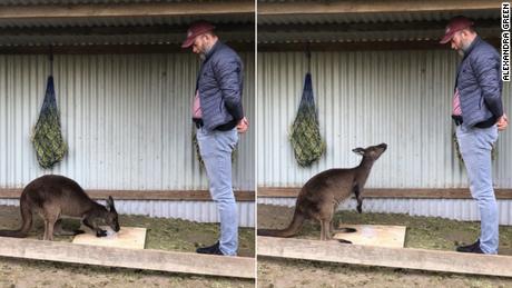 Sebuah studi baru menunjukkan bahwa kanguru dapat meminta bantuan dari manusia