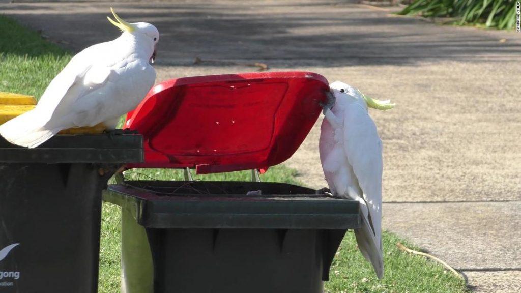 Mengapa burung beo pemompa pasir Sydney lebih pintar dari 'ayam tempat sampah'?