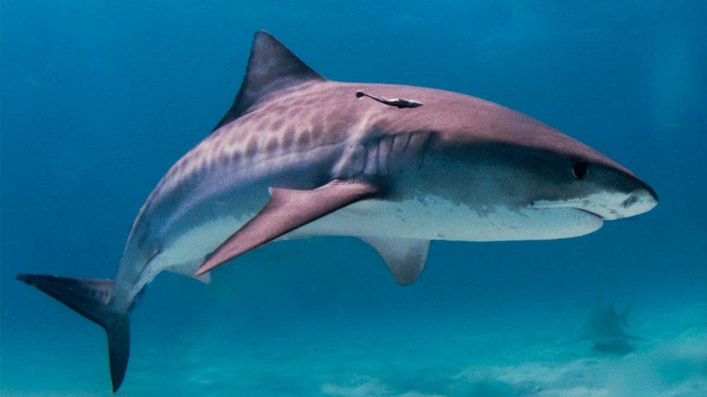 Representational image of a shark
