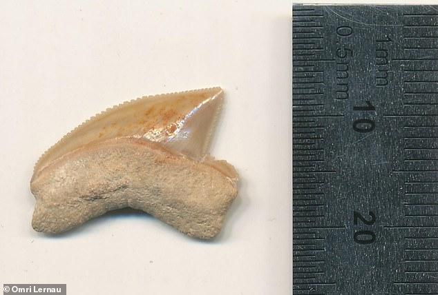 Secara keseluruhan, 29 gigi hiu, yang kemungkinan diperdagangkan sebagai barang kolektor 2.900 tahun yang lalu, telah ditemukan di rumah kuno Kota Daud.  Tidak ada bukti konklusif mengapa cache dikelompokkan, tetapi gigi mungkin menjadi bagian dari grup