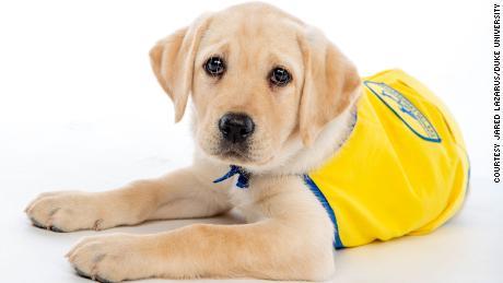Temui Wisdom, anggota TK Puppy Musim Semi 2020 di Duke University.