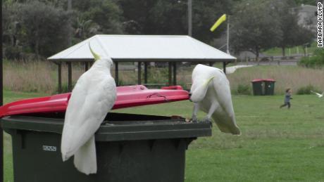 Studi ini menemukan bahwa kakatua belerang Sydney belajar dari satu sama lain untuk mengangkat tutup kotak kotoran untuk makanan.