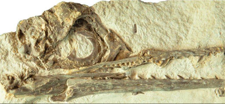 Fosil tengkorak Ecchiornis