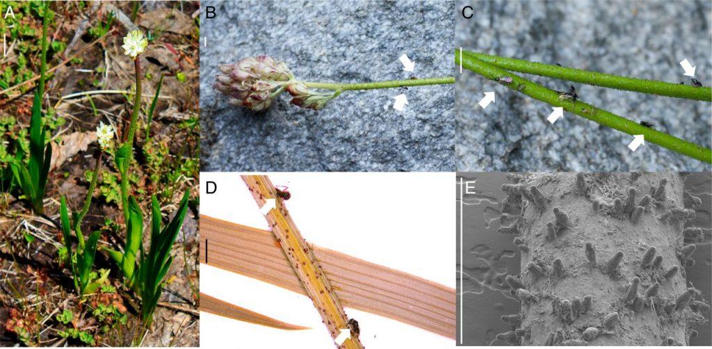 Strain tanaman karnivora baru (Triantha) dengan perangkap bunga lengket yang unik