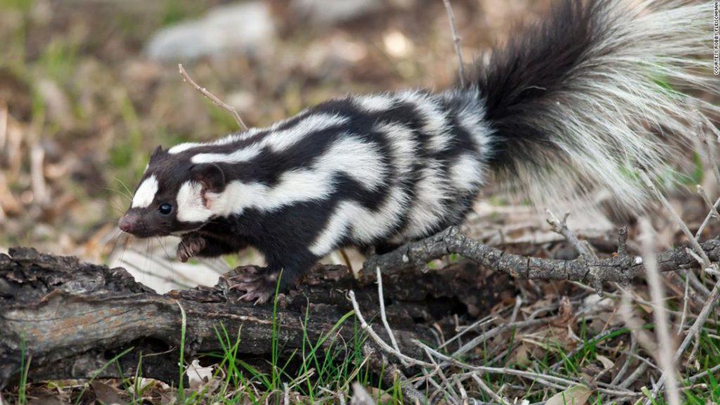 """Ucapkan Halo pada Sorotan Spotted Skunk, """"Akrobat di Dunia Skunk"""""""