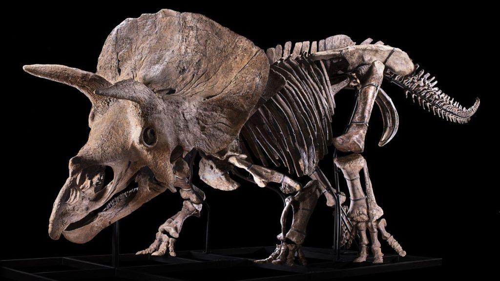 Siapa yang akan membeli Big John, triceratop terbesar yang pernah ditemukan?