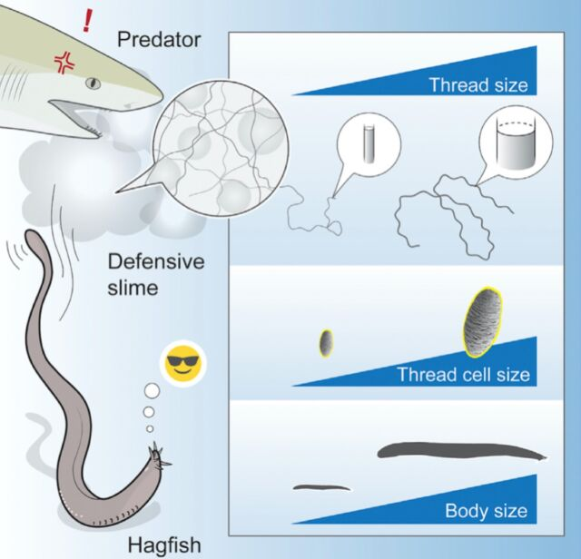 Hagfish gland thread cells vary by 50-fold in volume as body length varies between 10 and 128 cm.